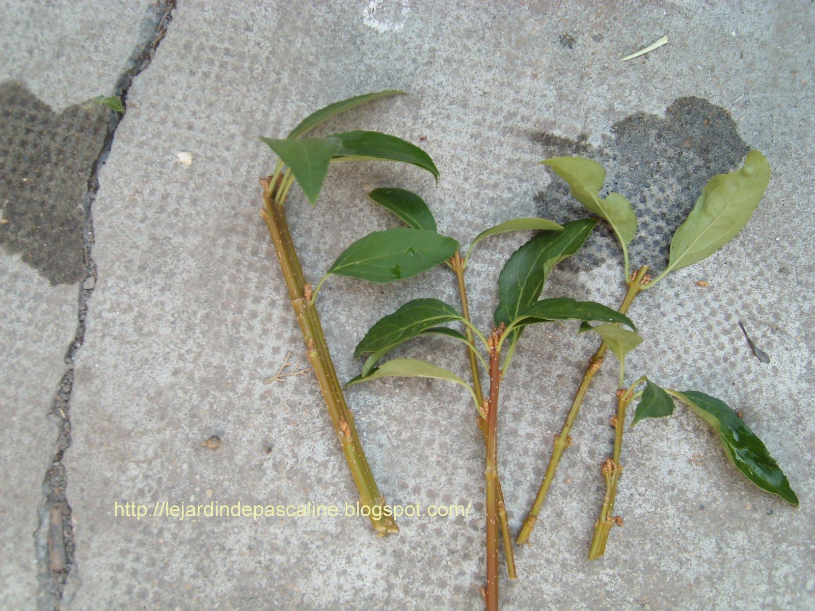 Le jardin de pascaline boutures berberis althea for Comment entretenir un citronnier