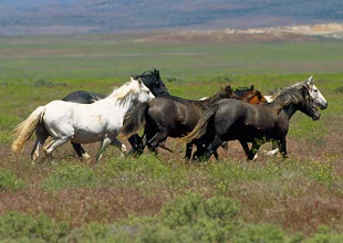 Photograph of wild horses on the range.