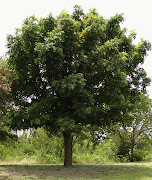 What are the adaptations of a bur oak? Posted by Ms. Darley at 11:35 AM