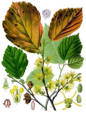 Hammelis virginiana - detalle de hojas y flores