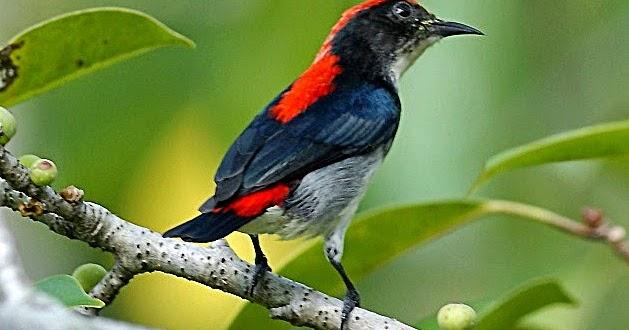 budidaya burung mengenal burung ocehan cabai jawa