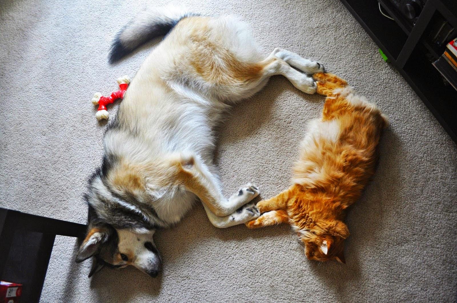 Chó Alaska không bao giờ tấn công mèo