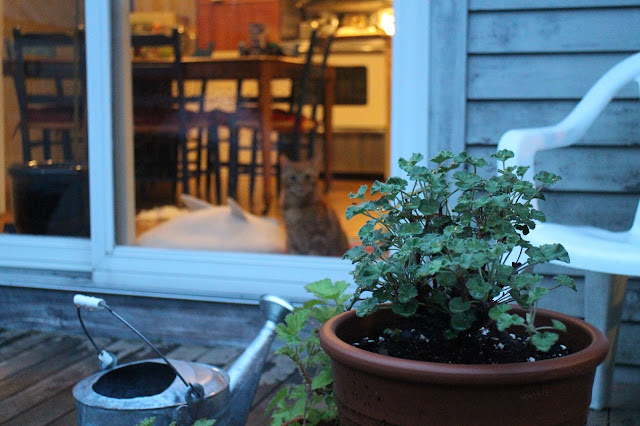 maine garden after rainstorm, twilight, fog, little cat, orange cat, looking into house at night