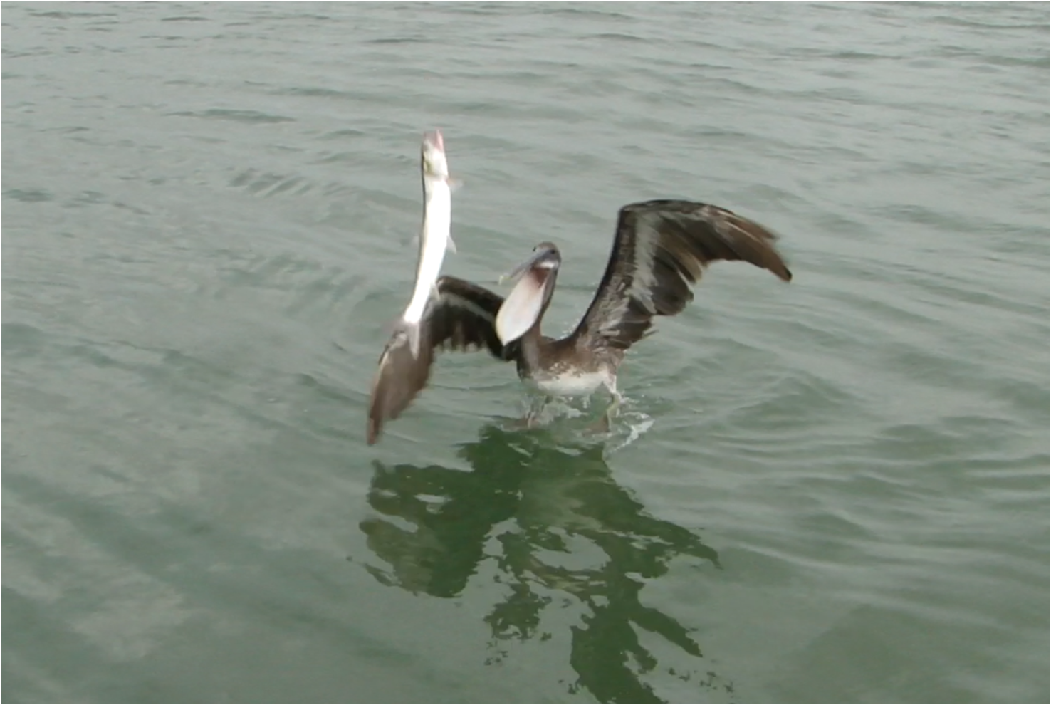 Pelican catching fish