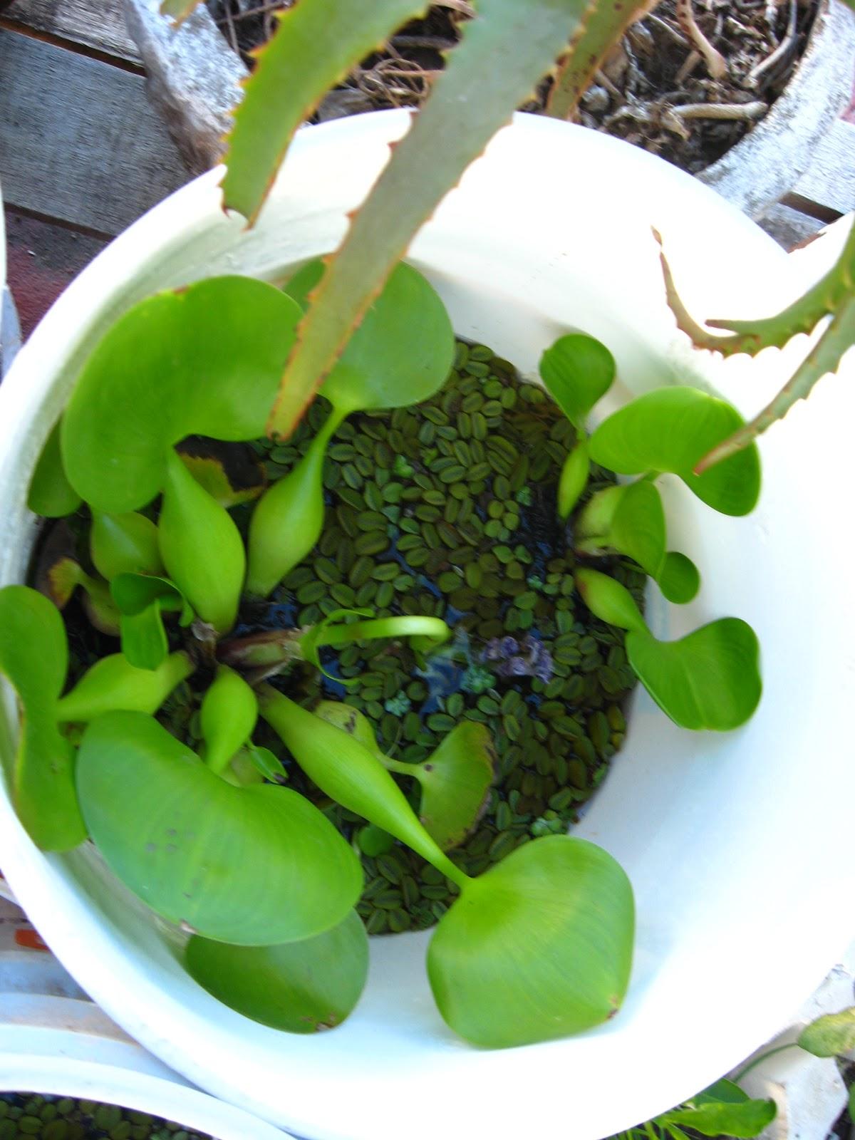 Huerta terrazera estanque y plantas acuaticas for Plantas estanque