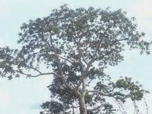 M'bidi a árvore centenária  que completa 103 anos