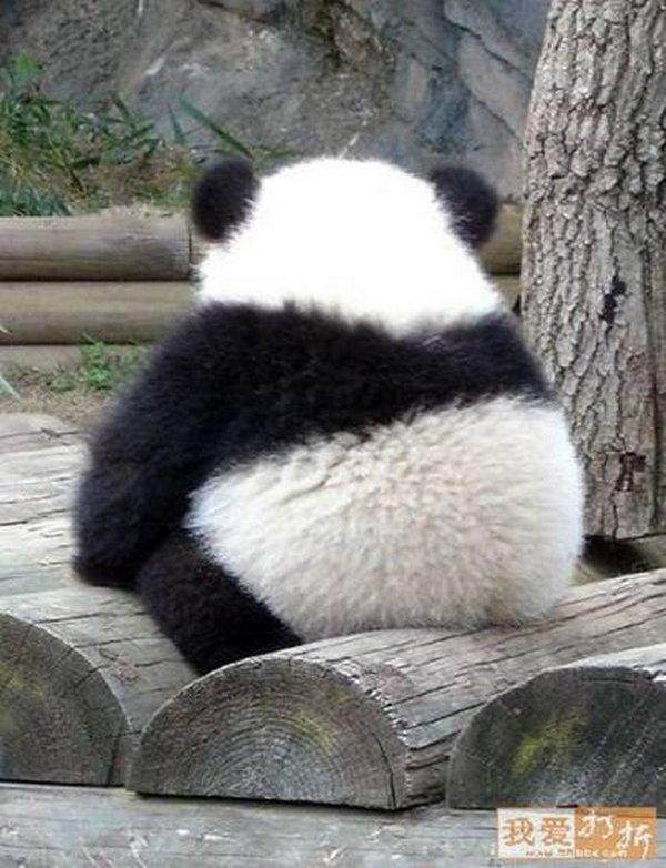 panda A chubby