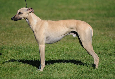 Whippet Dog Photos