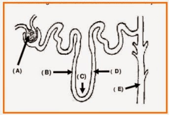 BIOLOGI GONZAGA: UJIAN SISTEM EKSKRESI KELAS XI