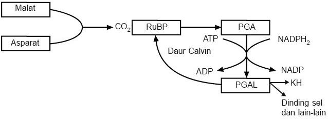 Gambar 2. Reaksi penangkapan CO 2 tanaman C4 di daerah mesofil