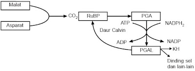 Reaksi penangkapan CO2 tanaman C4 di sarung berkas pengangkut