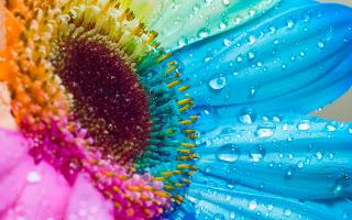 girasol con los colores del arcoiris