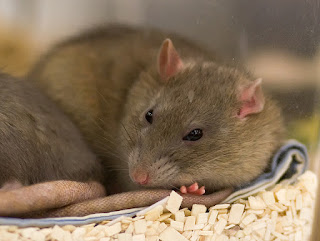Image of Rats are Pretty Smart