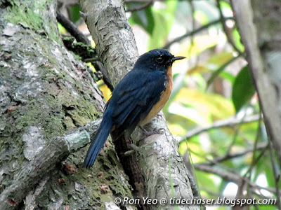 Mangrove Blue Flycatcher (Cyornis rufigastra)