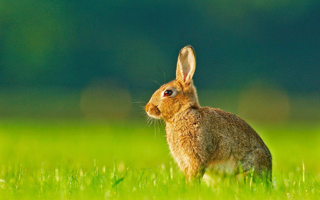 rabbit wallpaper for desktop - photo #23