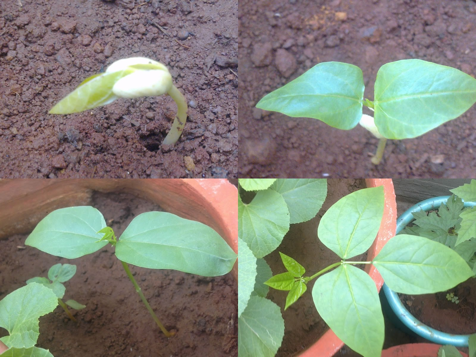 To Begin With You Can Either Directly Sow The Seeds Or Transplant Them Once Saplings Are About 5 6 Inches Tall An Inch