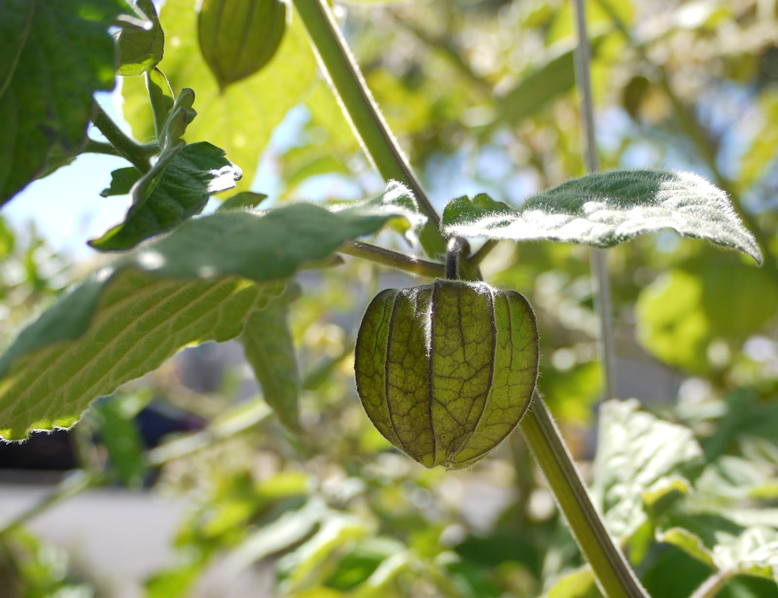 Green cape gooseberry husk