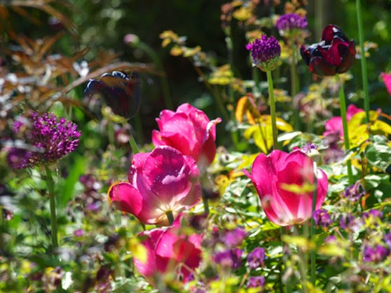 Mørke og pink toner fra tulipaner Queens Night og Don Quichotte, samt fra Allium