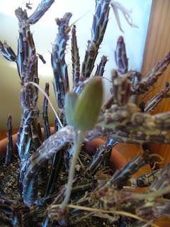 planta suculenta Kleinia Stapeliiformis