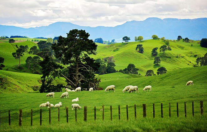 Sheep eating grass in Matamata