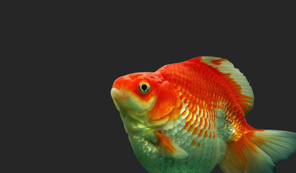 Mas Koki Ryukin Greenfish Indonesia