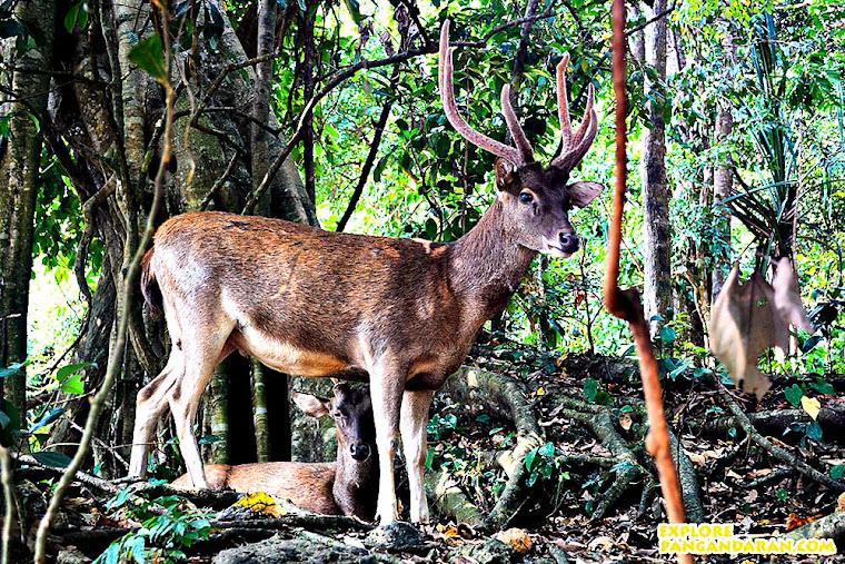 Rusa di Taman Wisata Alam Pangandaran