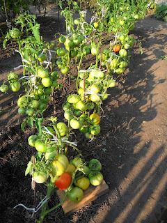 Урожай безрассадных помидоров, сорт Толстый Джек