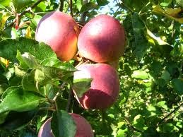 L 39 officina delle torte le variet di mele - Mele fuji coltivazione ...