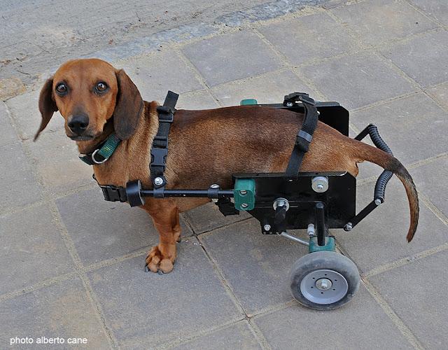 Il cane Sansone