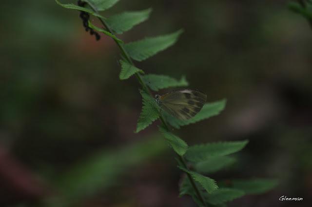 雞南山散步,台灣紋白蝶
