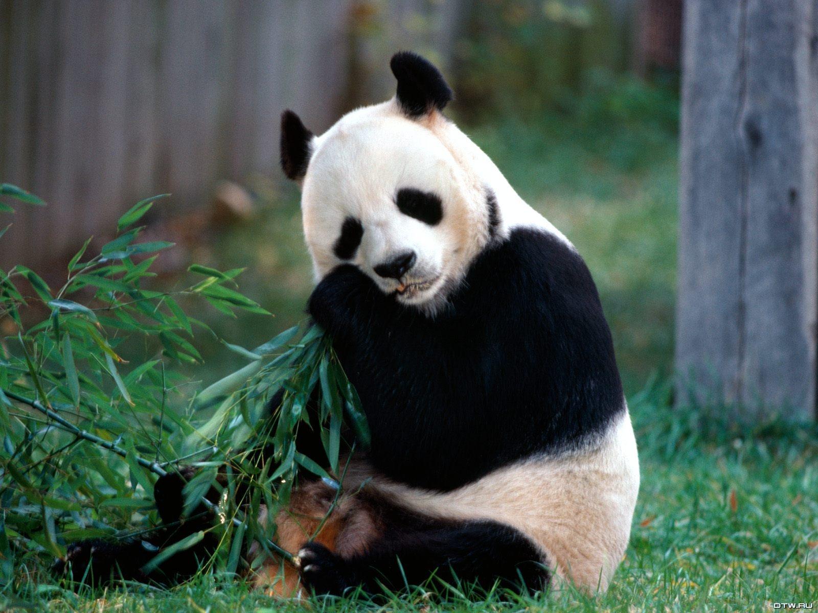 Cute Baby Panda Deskto...