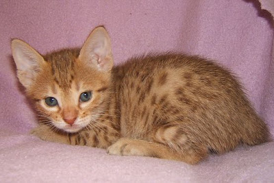 Specifically  Type  Ocicat - Domestic Ocelot Cat  Breeds