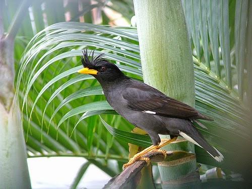 Foto Burung Jalak Kerbau Terbaik
