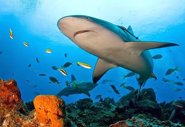 Beneficios del Cartílago de Tiburón