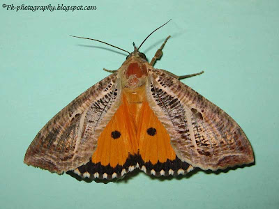 Owlet Moth Picture