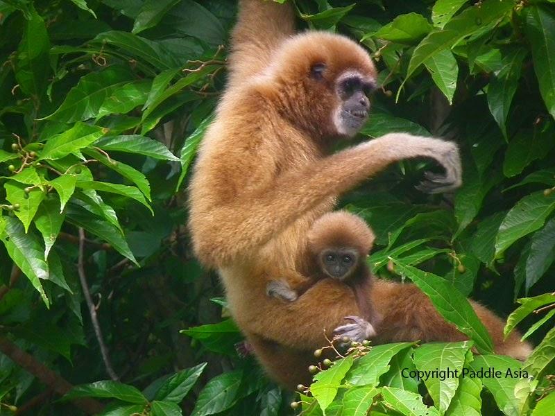 Khao Sok gibbon image