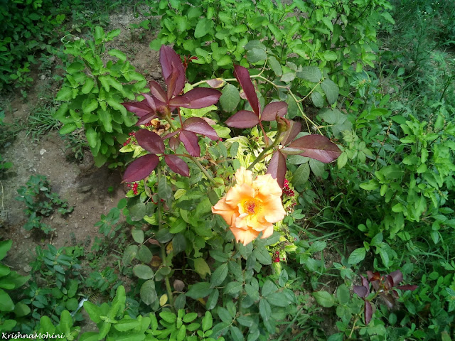 Image: Rose with golden and saffron shades