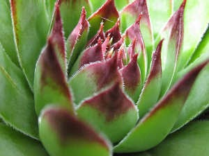 Impressive Ways to Plant Hens and Chicks Indoors