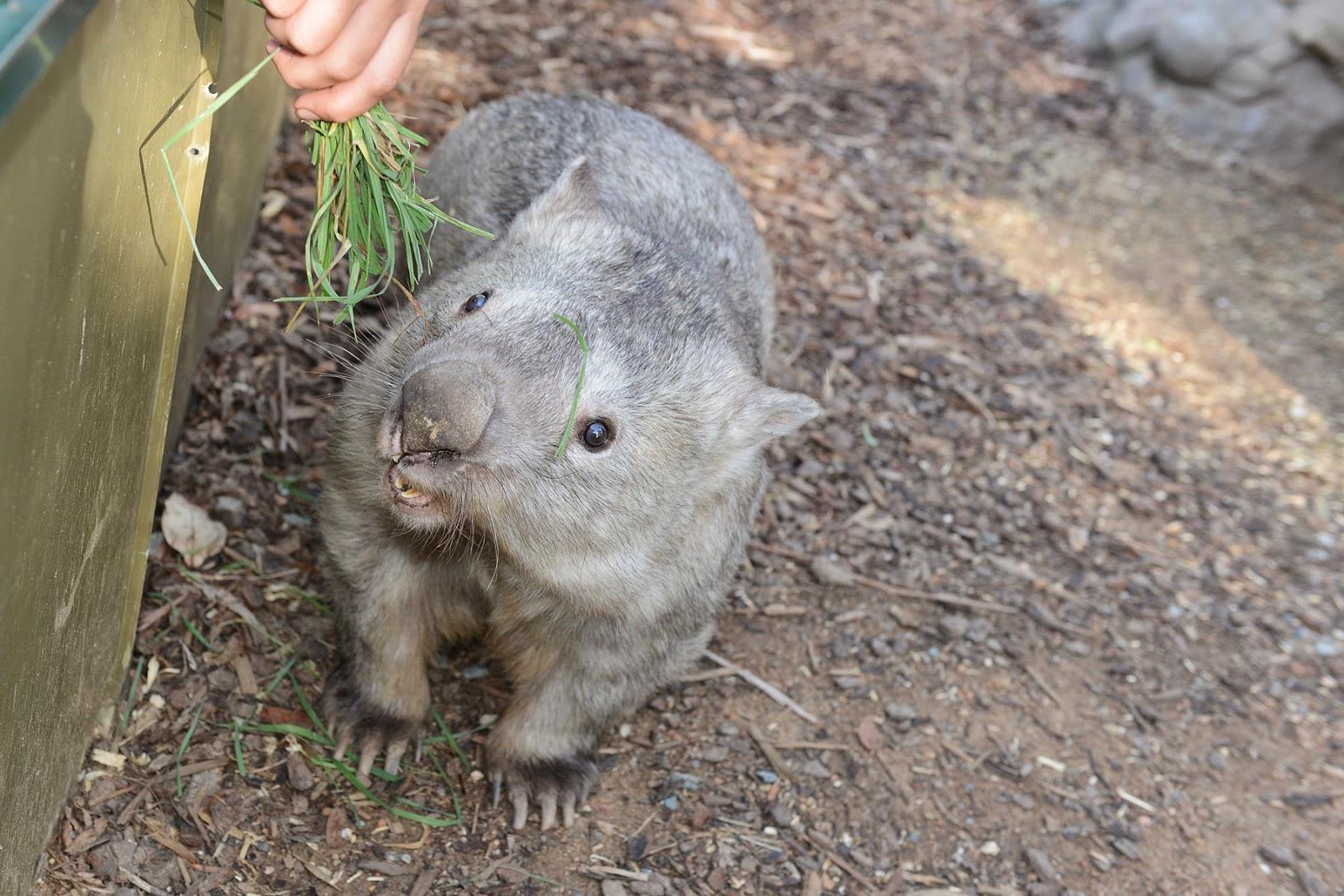winnie the wombat