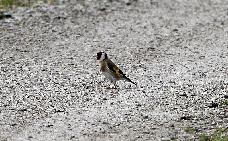 European Goldfinch on a way