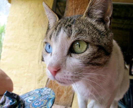 odd-eyed cat Colca Canyon Peru