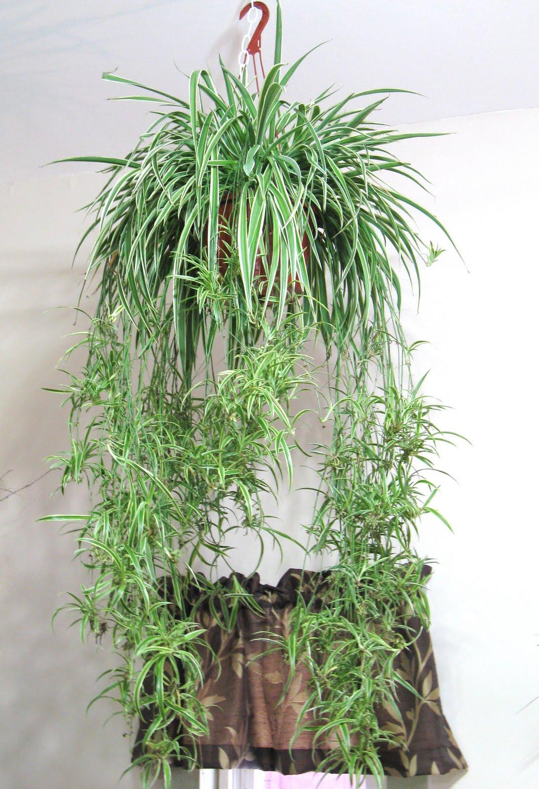 dowd 39 s flower shop new hanging plants. Black Bedroom Furniture Sets. Home Design Ideas