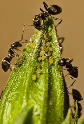Hormigas comiendo insectos de hojas