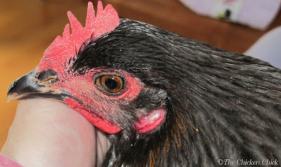 Chicken's broken beak repaired and as good as new