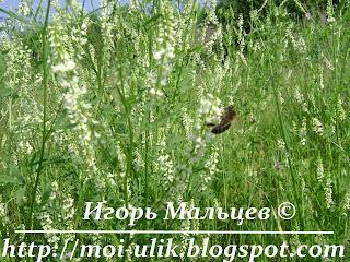 Цветет белый донник