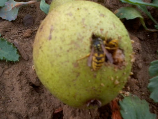 windfall pear with wasps