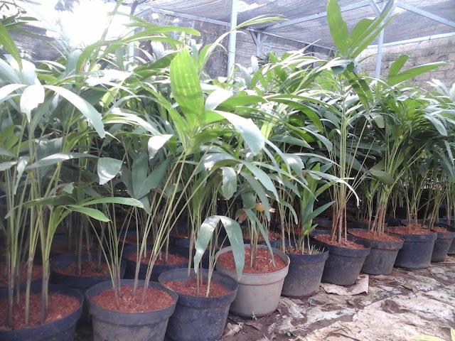 palm putri untuk indoor