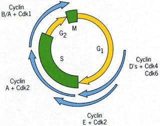 Cyclins and CDKs in Cell cycle