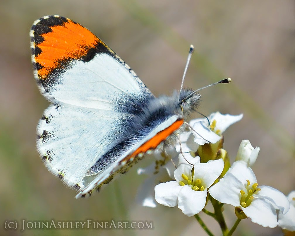 Sara orangetip butterfly (c) John Ashley