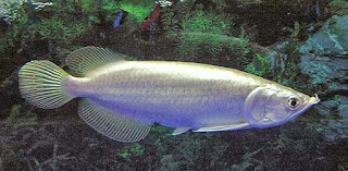 Ikan Arwana Platinum